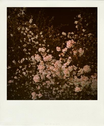Sakura_28March2015